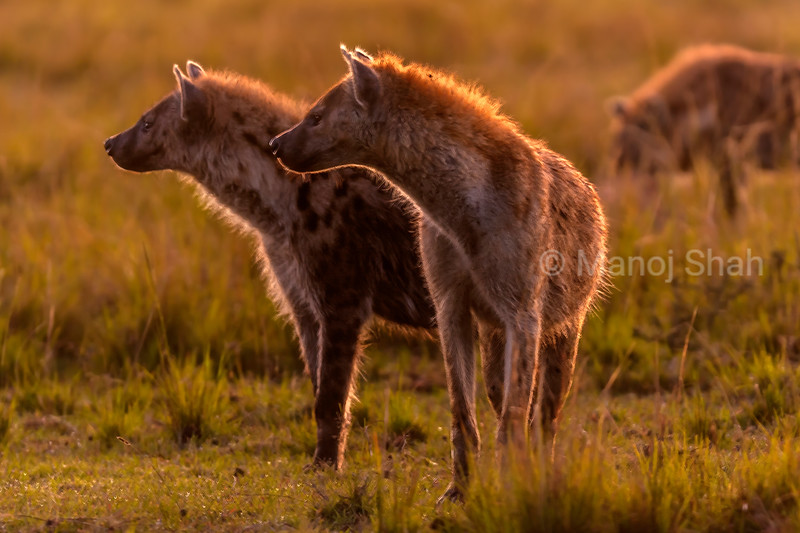Spotted Hyenas on the lookout early morning in Masai Mara.