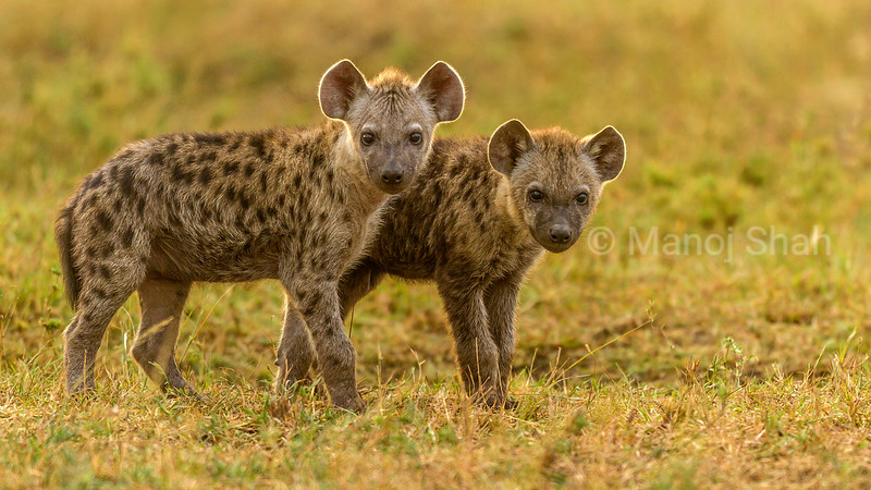 Spotted hyena cubs in Masai Mara