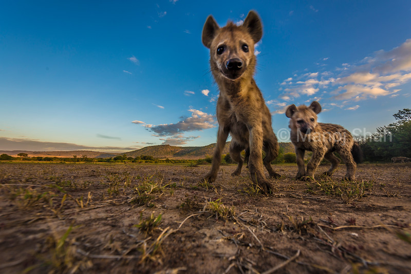 Spotted hyena and puppy in Masai Mara Landscape,