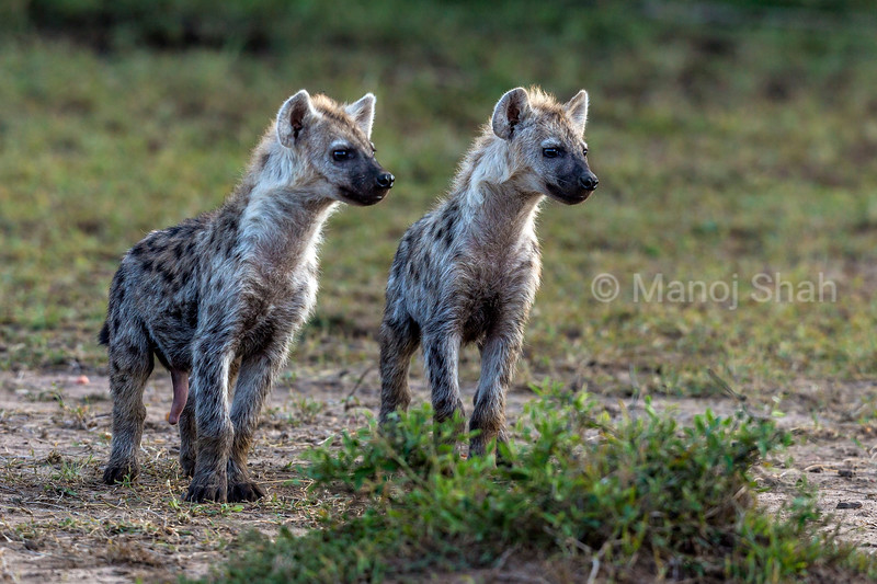 Spotted Hyena puppies watching an adult in Masai Mara.