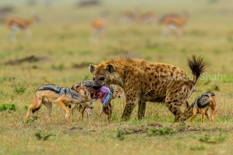 Spotted hena with a gazelle kill is surrounded by Black Backed Jackals in Masai Mara.