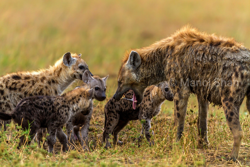 Spotted hyena  adult regurgitates to the puppies in Masai Mara.