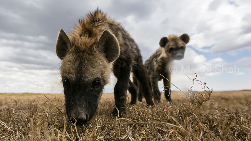 Spotted hyena cubs in laikipia savannah
