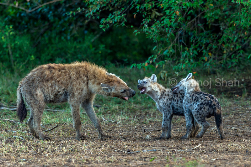 Spotted hyena pups communicating with an adult in Masai Mara.