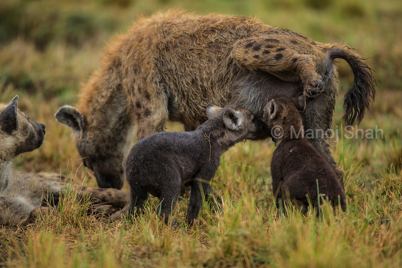 Hyena cubs examining adult male hyena;s genitals.