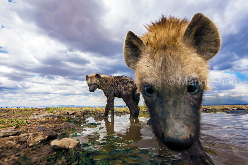 spotted hyena youngsters at water in Laikipia