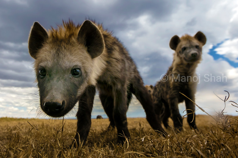 spotted hyena youngsters  in Laikipia