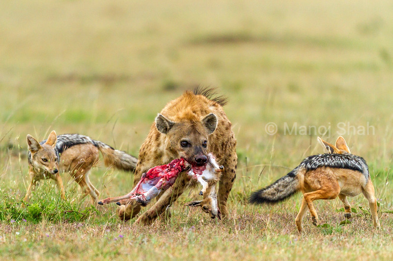 Spotted hyena with a gazelle kill is confronted by two black backed jackals.