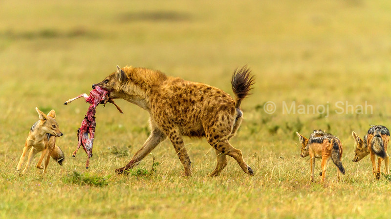 Spotted hena with a gazelle kill is confronted by Black Backed Jackals in Masai Mara, and tries to escape.