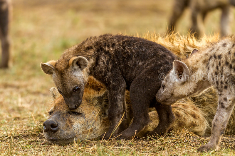 spotted hyena cubs smelling mother in Masai Mara,