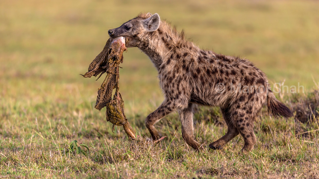 Hyena running with a scavenged kill.