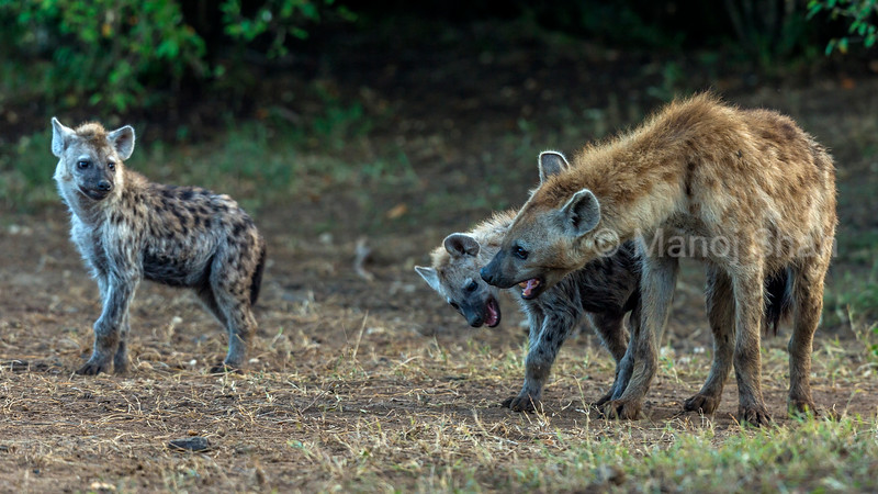 Spotted hyena pups communicating with an adult in Masai Mara/