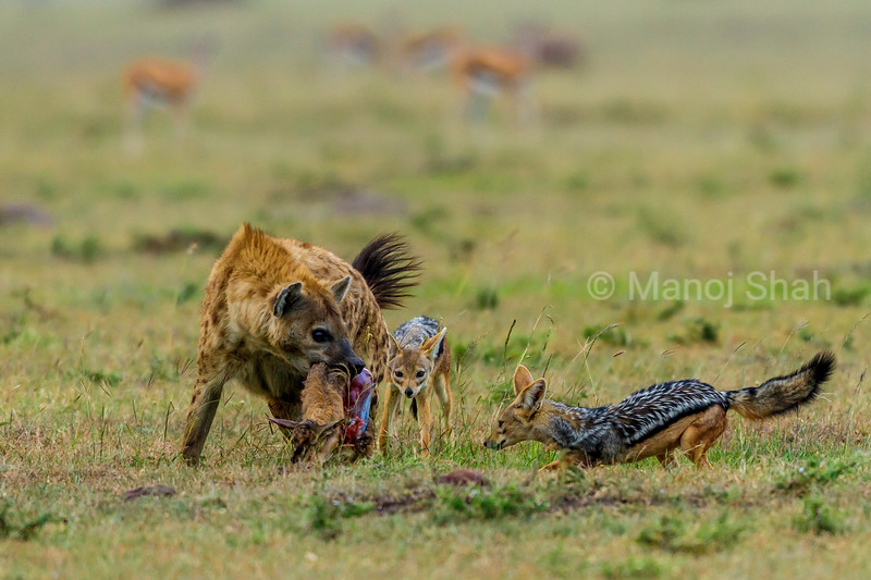 Spotted hena with a gazelle kill is surrounded by Black Backed Jackals in Masai Mara