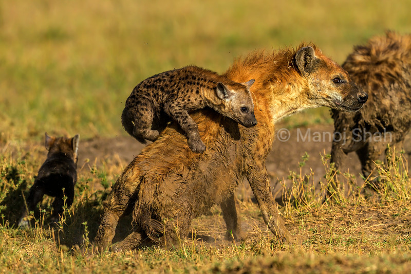 Spotted hyena cub playing on mother's back in Masai Mara.