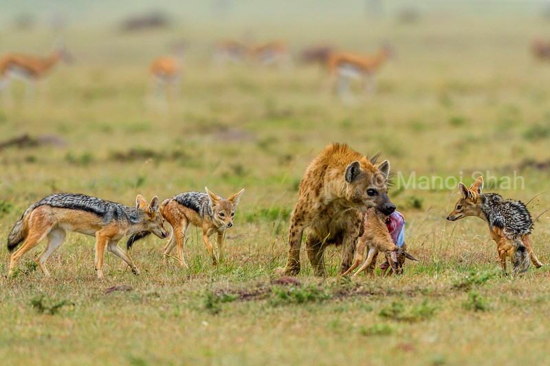 Spotted hyena with a gazelle kill is confronted by three black backed jackals.