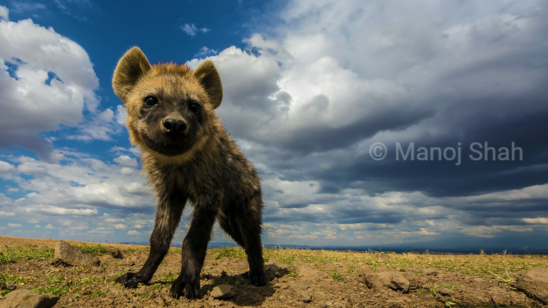 spotted hyena youngster in Laikipia