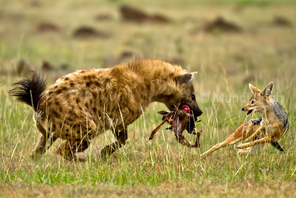 Hyena defending its kill from Jackal