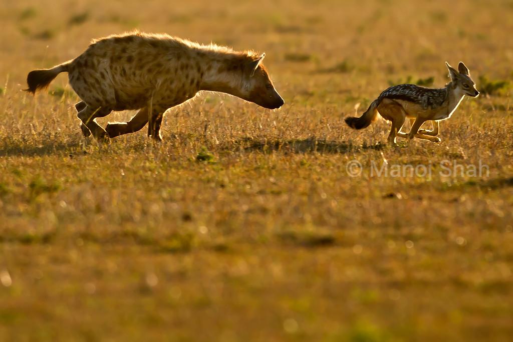 Hyena chasing a jackal away.