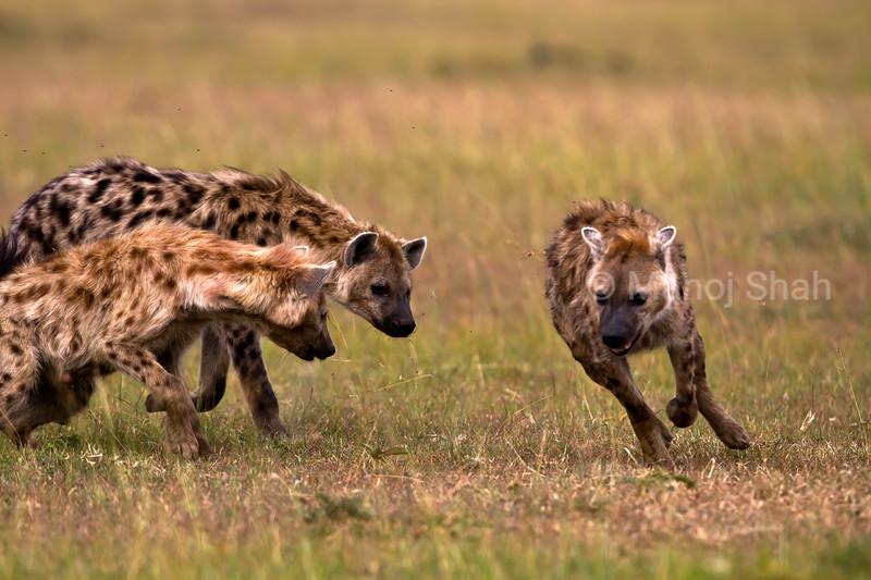 Hyenas squabbling
