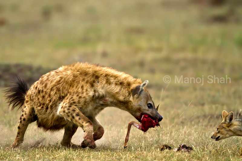 Hyena defending its kill from Jackal