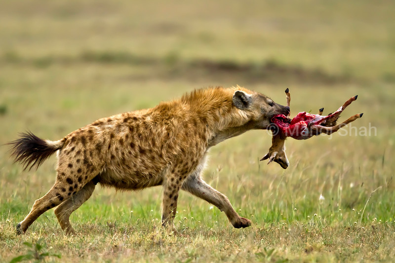 hyena with gazelle kill
