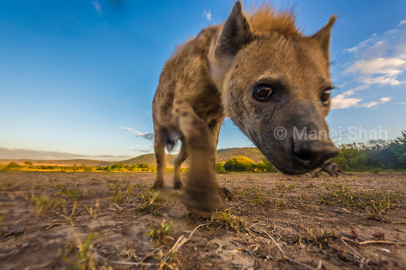 Spotted Hyena inquisitive about the remote camera in Masai Mara Lamdscape.