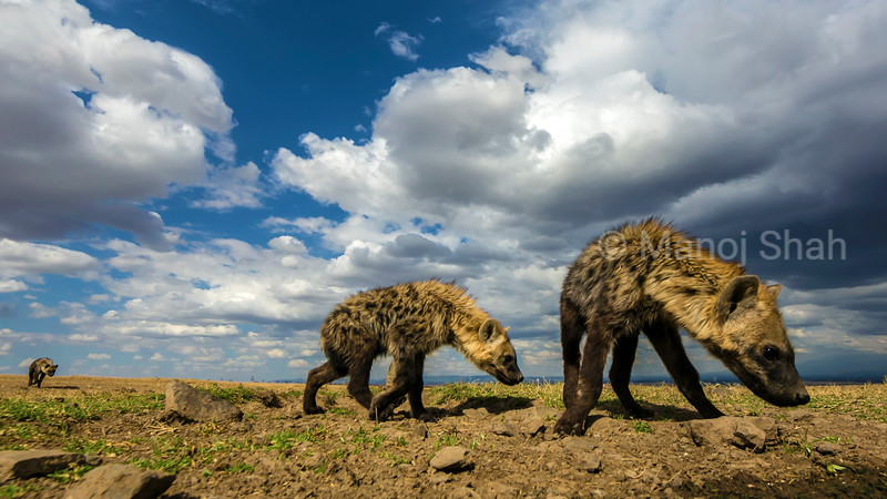 Hyena youngsters sniffing the ground in Laikipia