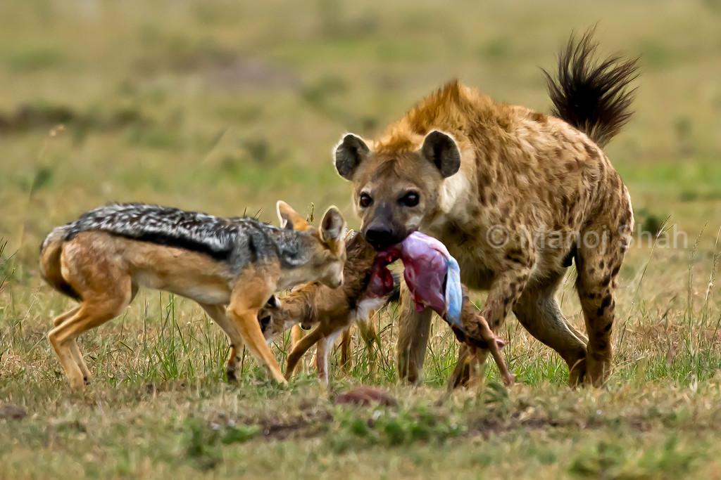 jackal stopping hyena