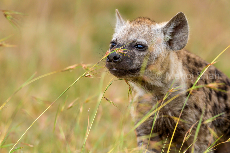 spotted hyena cub smelling grass portrait in Masai Mara
