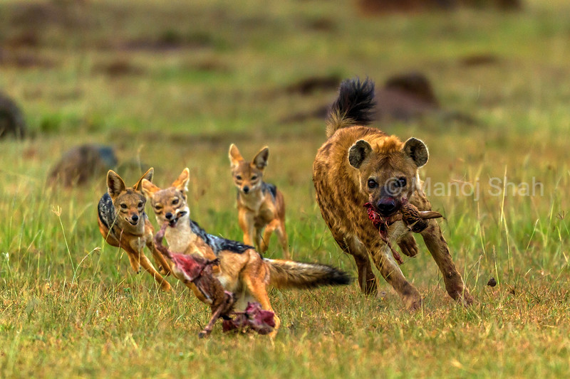 Success for the Jackals. The Black Backed Jackals manage to grab a sizeable piece of the gazelle kill from the Spotted Hyena.