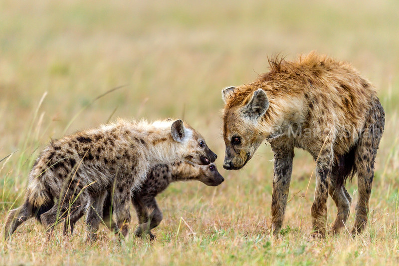 spotted hyena cubs greet mother in Masai Mara