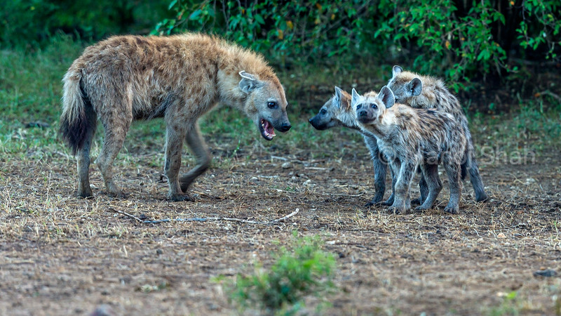 Adult spotted hyena walking to greet the puppies in Masai Mara