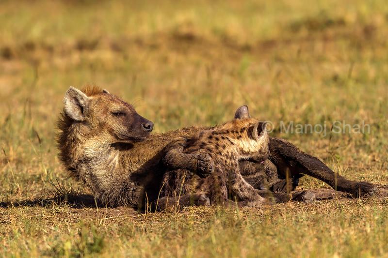 Spotted hyena cub suckling mother in Masai Mara.