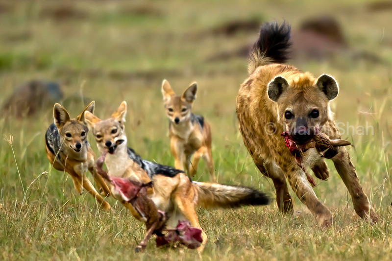 Jackals take a part of kill from hyena