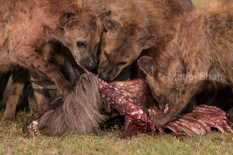 Hyena pack feeding on a wildebeest kill.