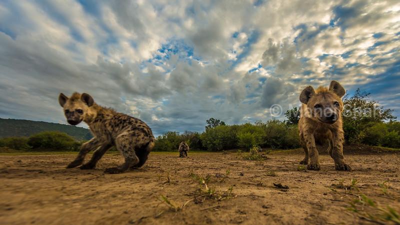 Spotted Hyena puppies inquisitive about the remote camera in Masai Mara Lamdscape.