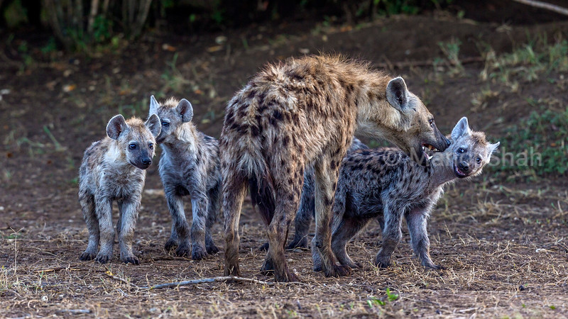 Adult spotted hyena playing with the puppies in Masai Mara