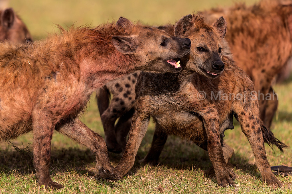 Spotted Hyenas squabbling at a kill site.