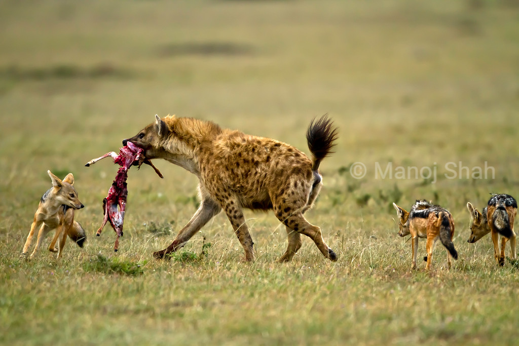 Jackals trying to take kill from hyena
