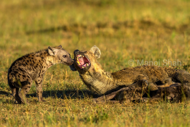 Spotted hyena mothe with cubs yawns in Masai Mara.
