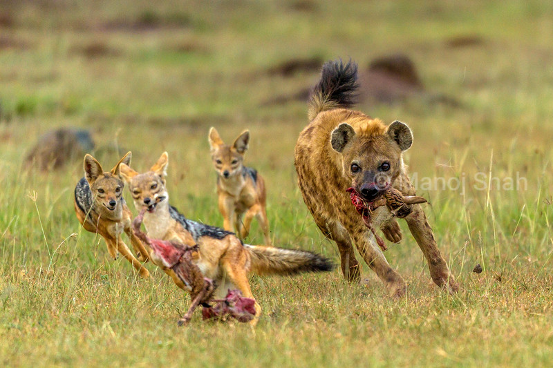 A black backed jackal pinches half of a Thomson's gazelle kill from a spotted hyena and scrambles in Masai Mara.