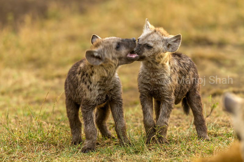 Spotted hyena cubs play fighting in Masai Mara