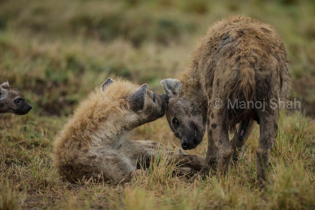 Female Hyena grooming male