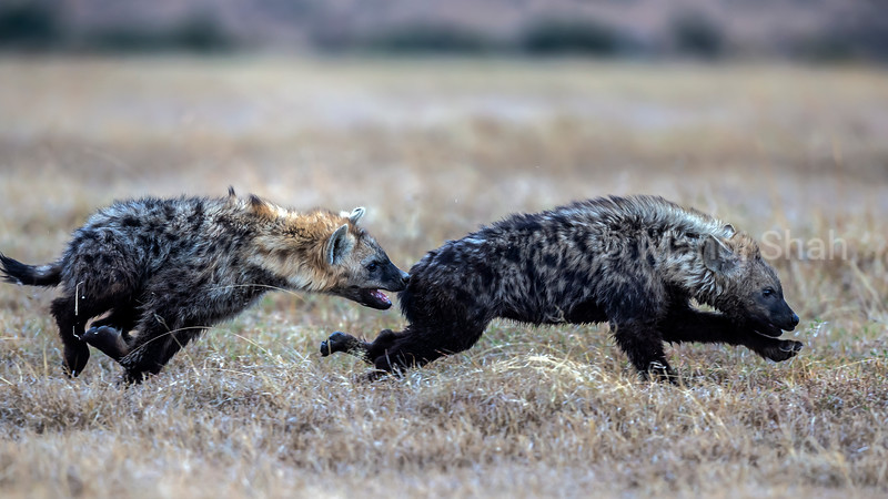 Hyena youngsters chasing each other in Laikipia.