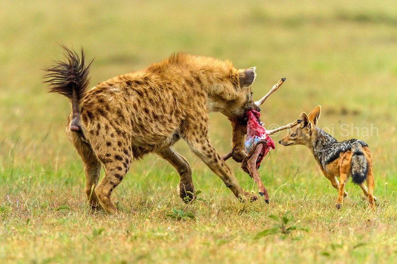 Spotted hena with a gazelle kill is confronted by Black Backed Jackals in Masai Mara.