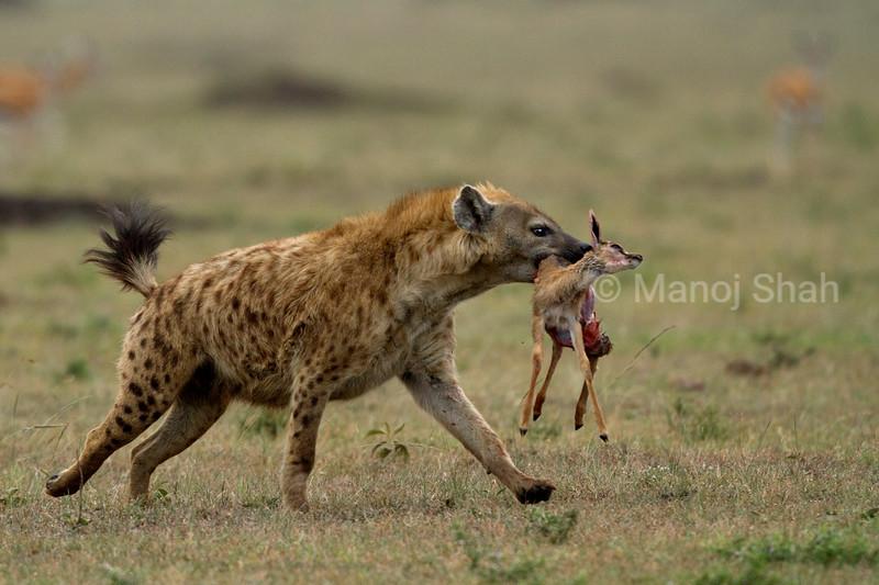 Spotted hyena runs with a Thamsons gaxelle kill in Masai Mara.