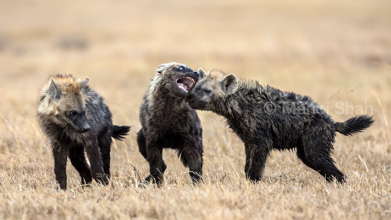 Hyena youngsters play fighting each other in Laikipia.
