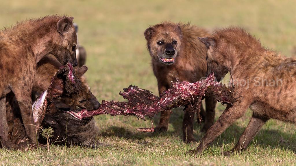 Hyena pack feeding on a wildebeest kill.