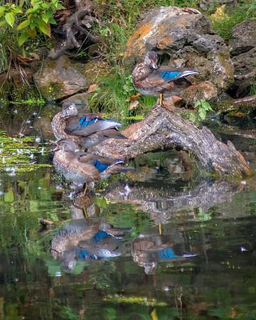 Ha Ha Tonka Wildlife