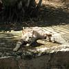 Soroa cat
